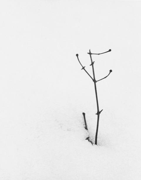 José R. Cuervo-Arango. Arbusto en la nieve. 1979 © José R. Cuervo-Arango